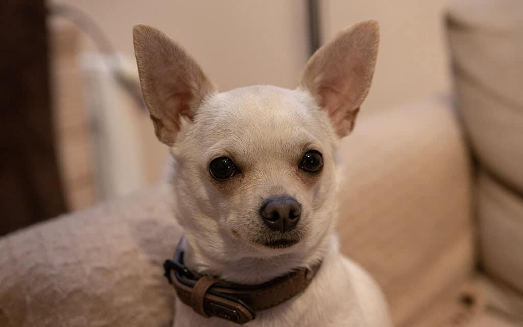 Chihuahua de pelo corto